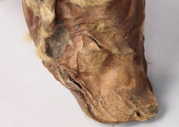 В Канаде шахтёры нашли мумии животных ледникового периода