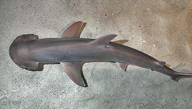 Обнаружена первая всеядная акула
