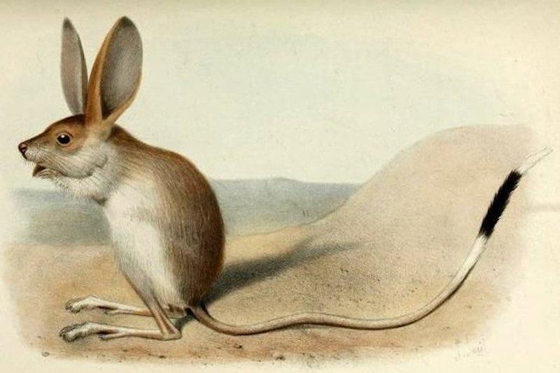 Невероятно редкое существо: длинноухий тушканчик