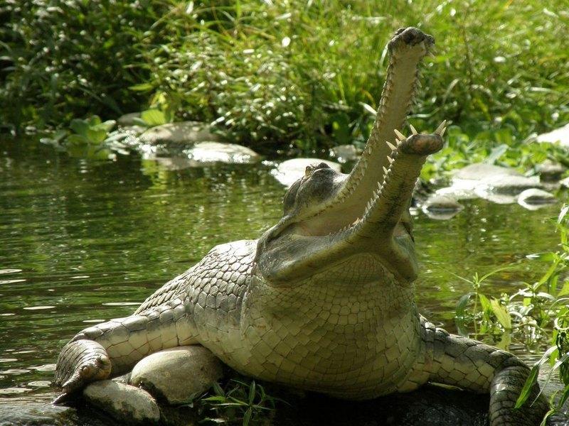 Гангский гавиал: живое ископаемое