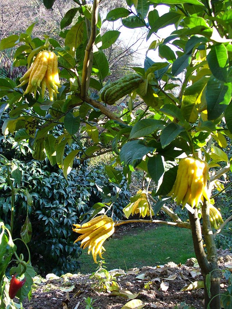 Выявлена связь между иудаизмом и лимонами