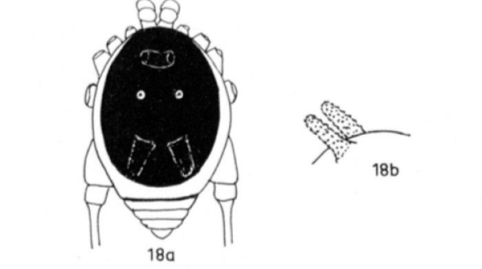 Крошечный арахнид с очень необычной внешностью
