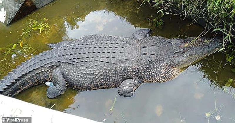 Индонезийский крокодил съел кормившего его биолога