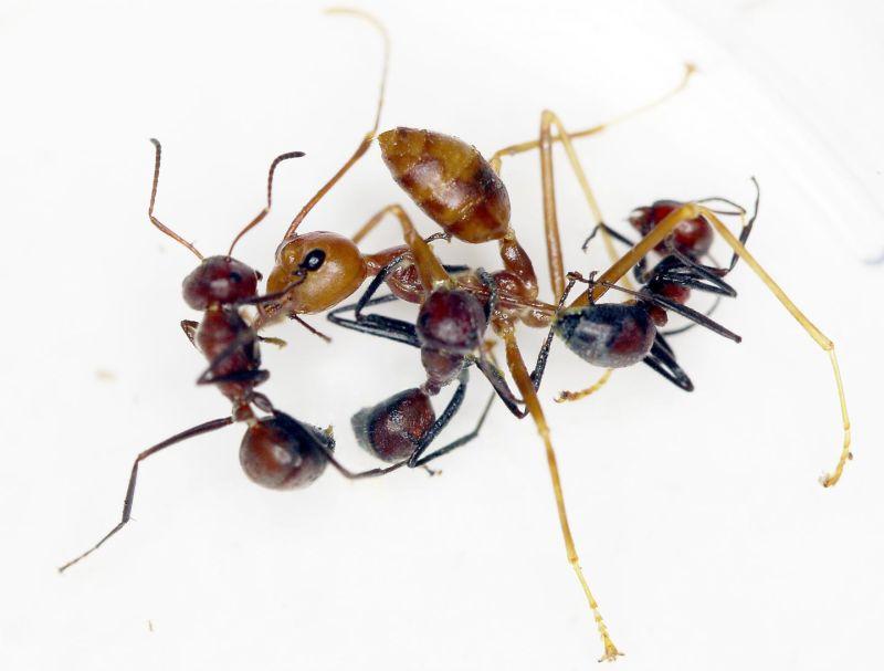 Обнаружен новый вид «взрывающихся муравьев»