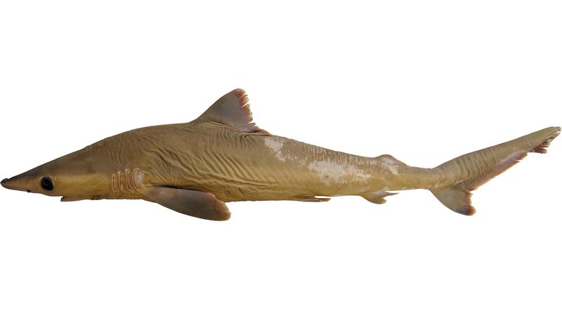Найден новый вид акул