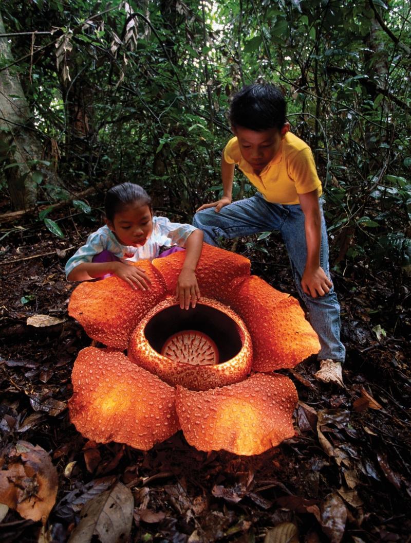 Трупная лилия: самый крупный цветок