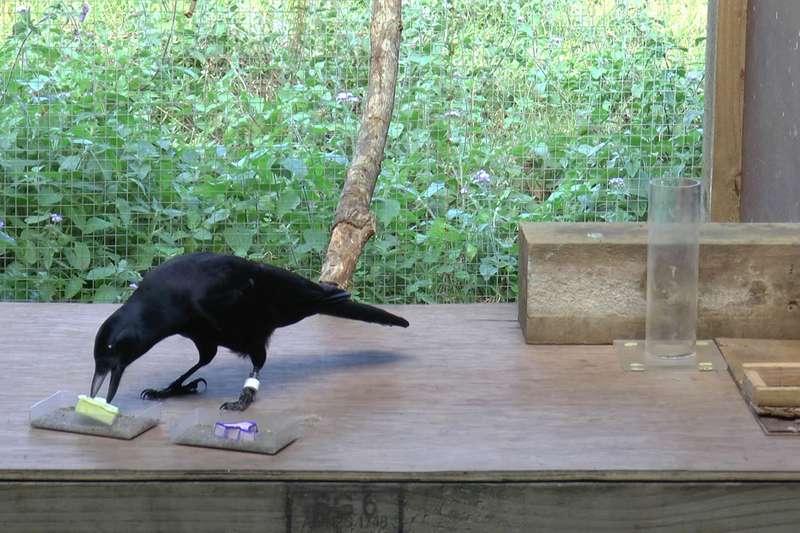 Новокаледонские вороны могут оценить массу объекта по его движению