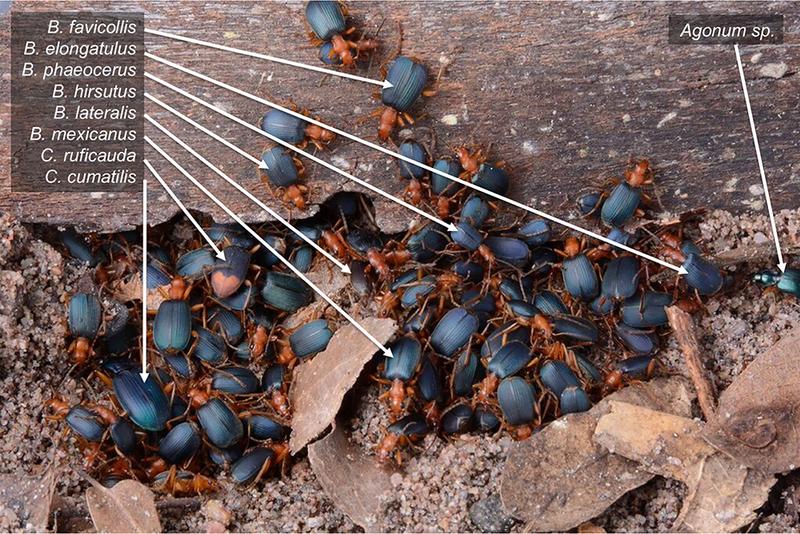Раскрыта тайна обороны жуков-бомбардиров